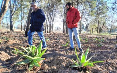 Crece la plantación de aloe vera en Metileo